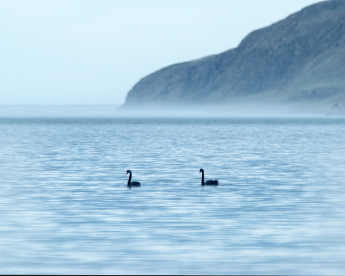 Black swans on Papanui Inlet | by Ian@NZFlickr