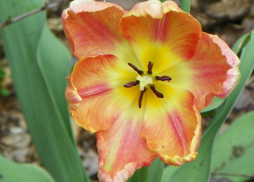 tulip7