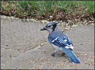 Mr. Blue Jay | by Sue90ca Glorious Autumn