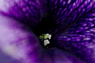 purple petunia | by horsesqueezing