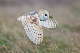 Barn owl in flight | by Robert Canis