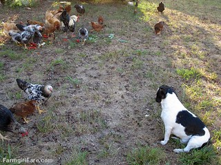 Chicken snacks. . . they aren't just for chickens (2) | by Farmgirl Susan
