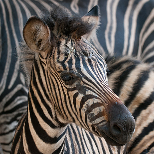 zebra on zebra | by ewaldmario