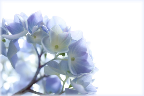 HydrangeaSky | by The Coyote
