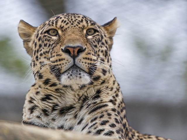 Male leopard looking around