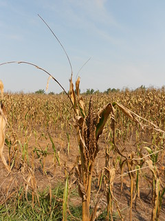 Drought corn | by CraneStation