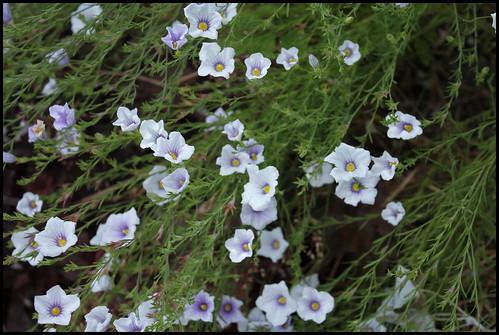 Nierembergia frutescens (1)