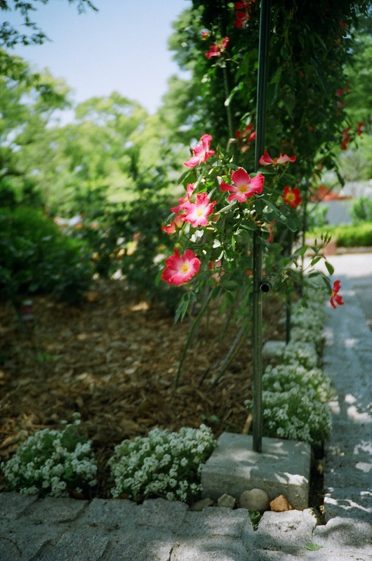 lomography: roses