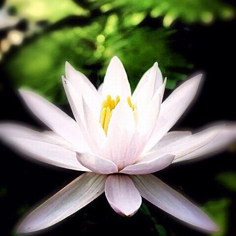 Peaceful Lotus