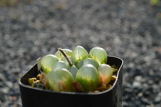 DSC_3432 Haworthia obtusa  ハオルチア オブツーサ