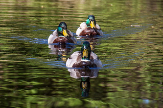 band of ducks | by hans s