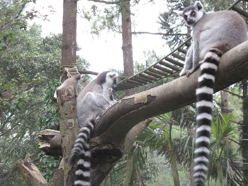 "Lemur Ekor Cincin ""King Julien"""
