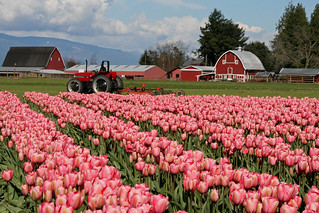 Tulip Town | by shesnuckinfuts