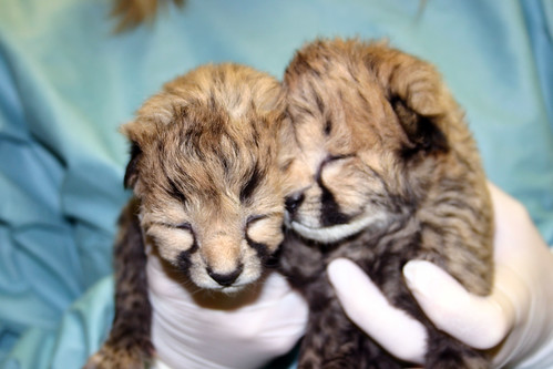 2-day-old cheetah cubs | by Smithsonian's National Zoo