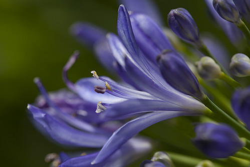 Agapanthus | by Rainer Fritz