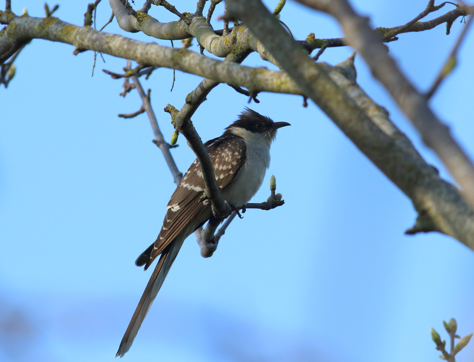 cuckoo&dove0094