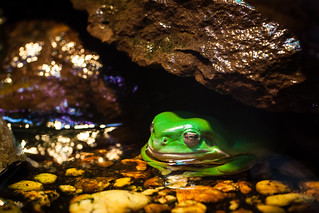 Green Tree Frog | by tyroga
