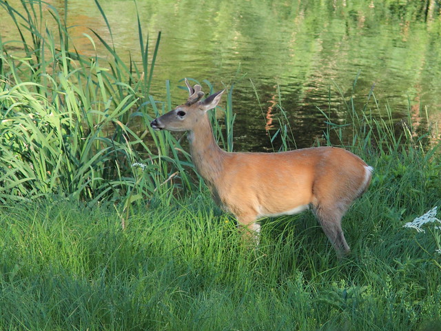 Whitetail Deer young buck 20160616