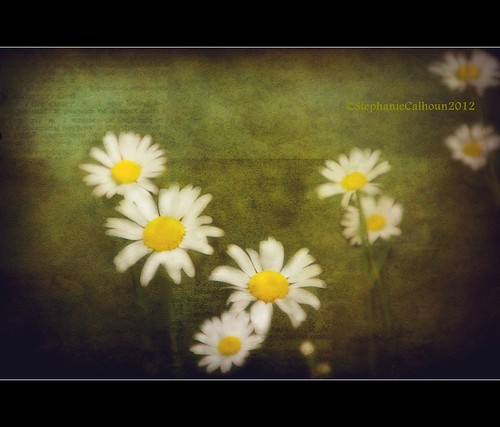 Shasta Daisies | by Stephanie Calhoun Photography