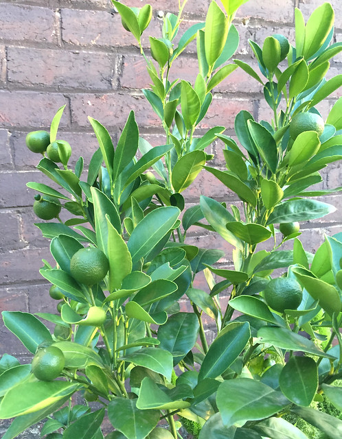 The cumquats are coming! Looking forward to my first harvest this year :)