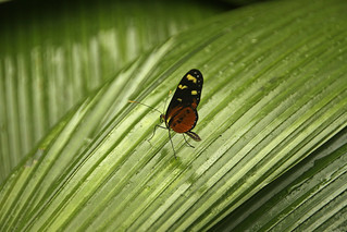 Heliconius Hecale | by wagnerchristian.com