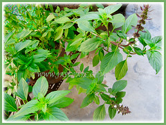 Ocimum basilicum (Thai Basil, Anise Basil, Licorice/Cinnamon Basil) growing well in a pot, 13 Aug. 2015