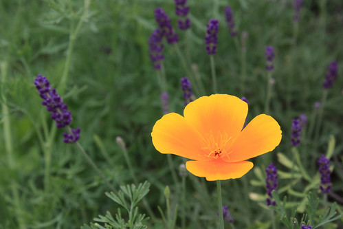 California Poppy and Lavender | by Brooklyn Botanic Garden