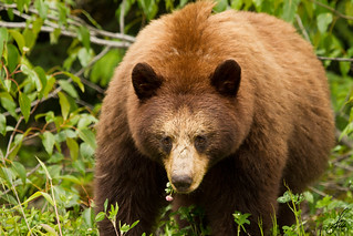 Cinnamon Black Bear | by SorenHedberg