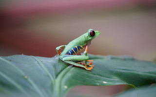 Red-Eyed Green Tree Frog | by Duplisea