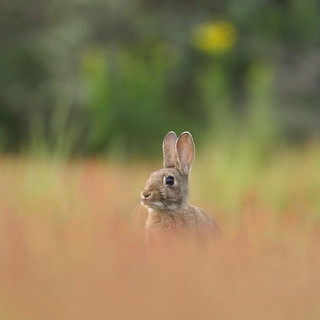European rabbit | by Wouter's Wildlife Photography