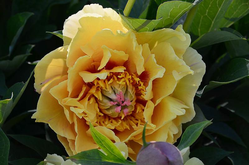 adelman-peony-garden-7-golden-treasure
