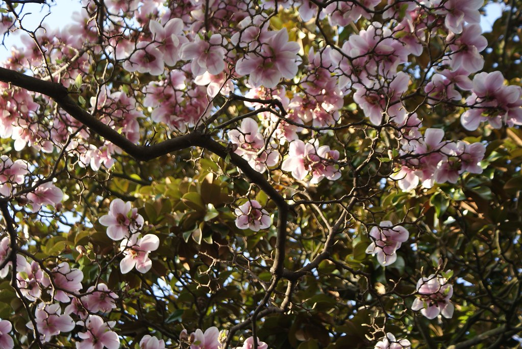 Magnolia en fleurs dans le parc de la Tête d'or à Lyon.