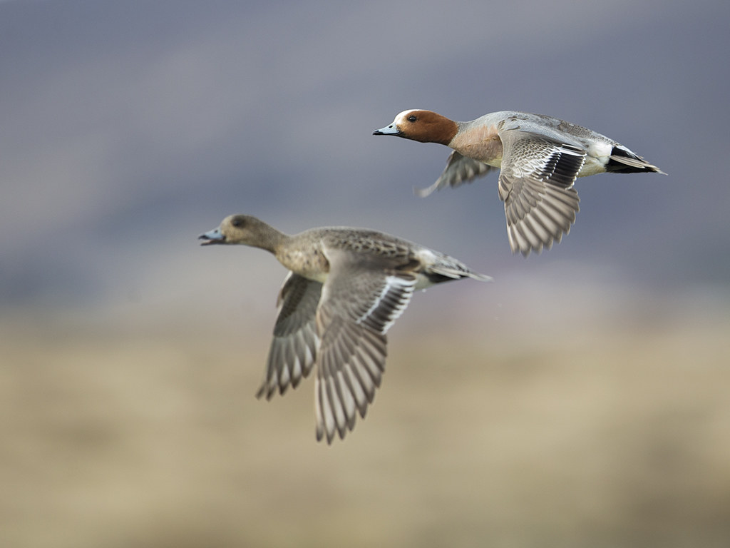 Wigeon     Iceland