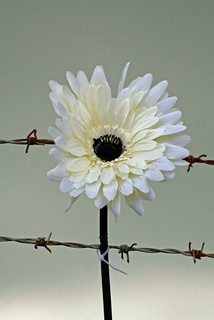 Beauty amongst the barbed wire | by Ann9595