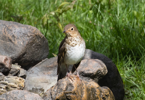 Swainson's Thrush at my bird bath