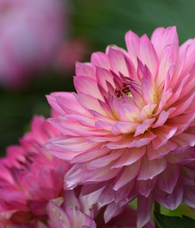 Cropped Pink Dahlia | by hcorper