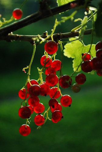 DSC_1346-red-berries | by wmconnolley