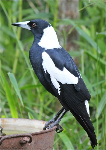 Australian Magpie | by Fiona Rebel's Photography