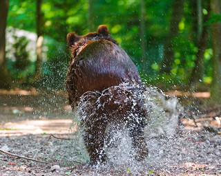 Bear running away | by Tambako the Jaguar