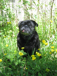 Buttercup Pug | by ArcticPug