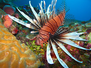 Lion Fish | by Paulo Cid
