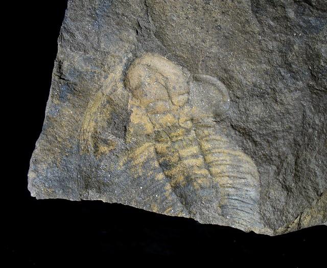 Trilobite (negative)