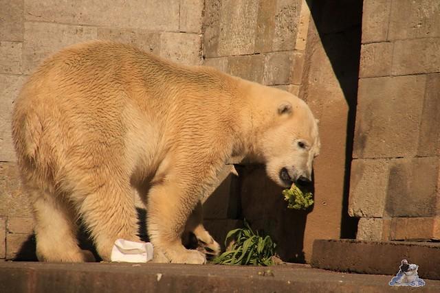 Eisbär Fiete im Zoo Rostock 04.06.2016   0294