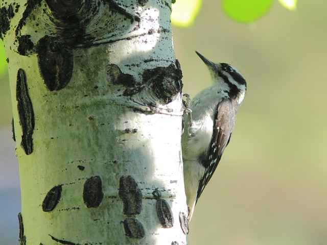 Hairy Woodpecker near bear claw scars 2-20160615