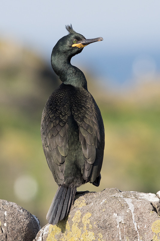 Shag   Isle of May,Scotland 2016