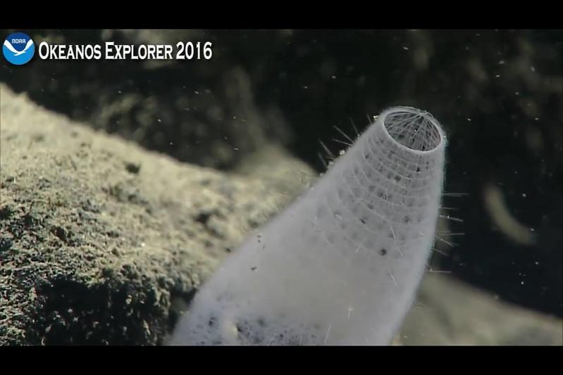Screenshot of Rare Sponge from Okeanos Mission