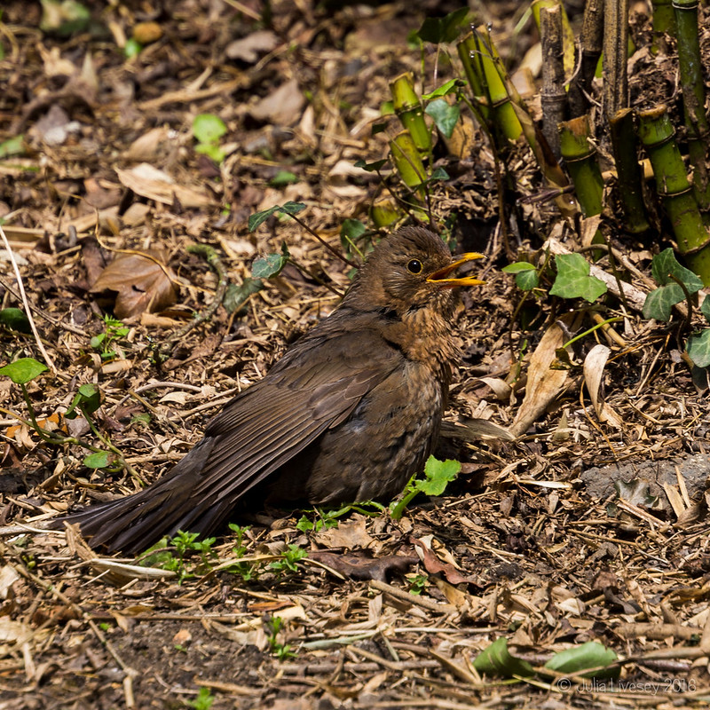 Blackbird taking a sun bath