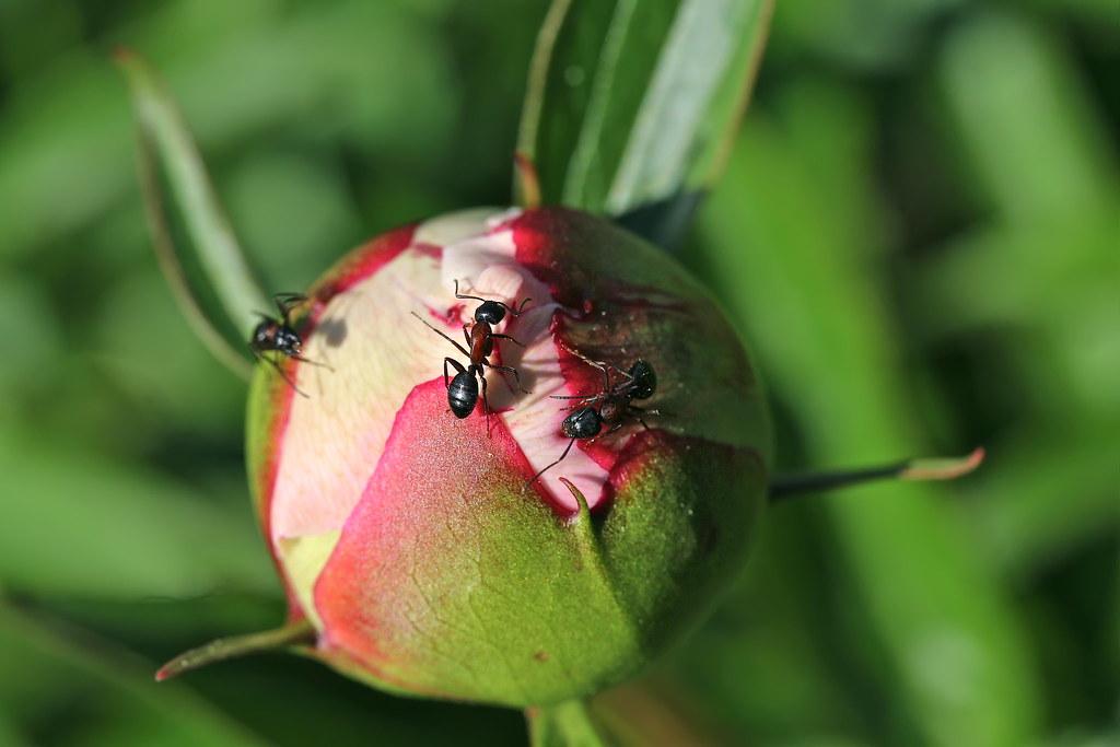 Ants love peonies III