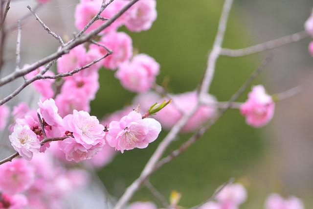 ume blossoms 9