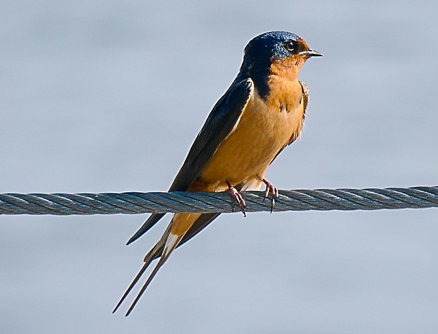 Swallow_3